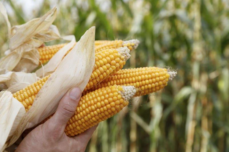 imagen de maíz